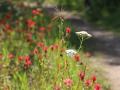 spring-wildflowers-in-glacier-national-park