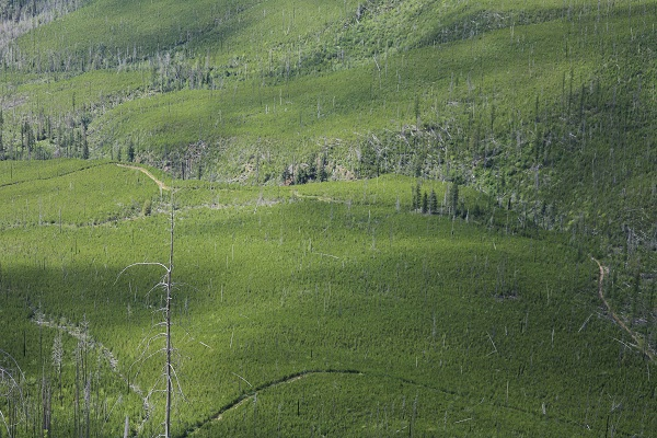 vastness-and-regrowth-in-old-burn-glacier-national-park