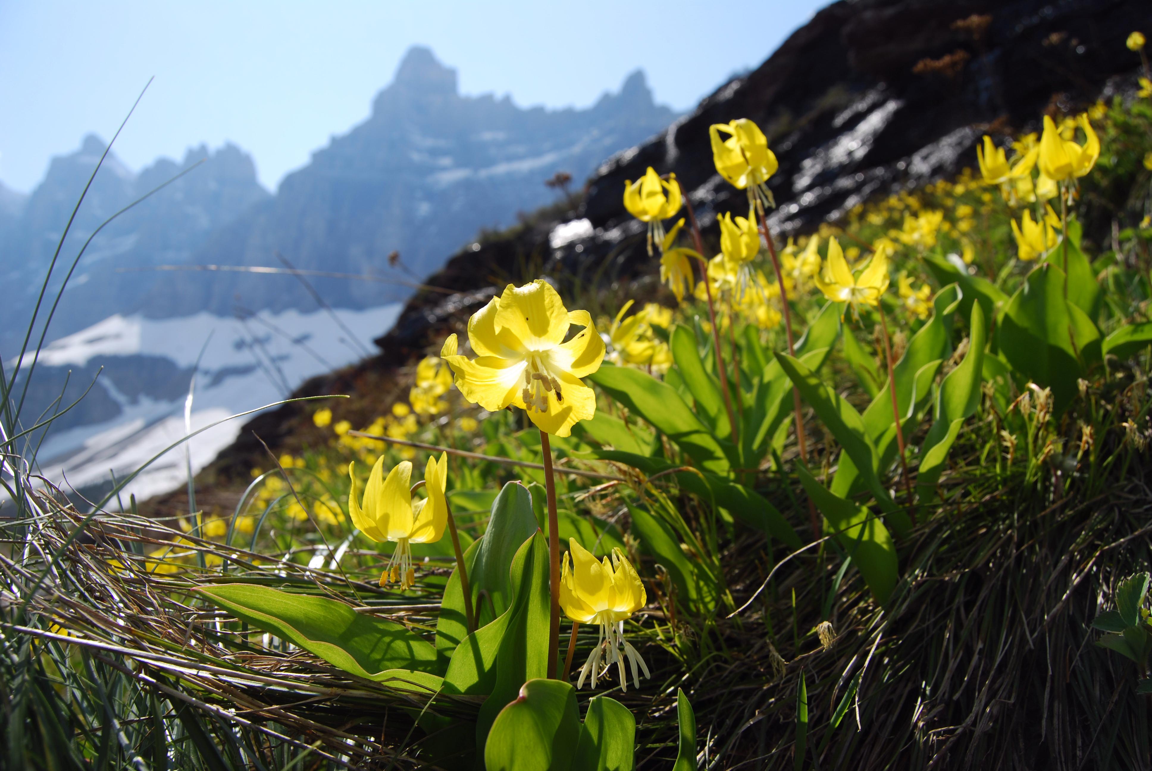 glacier-lillies-glacier-guides