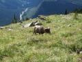 bighorn-sheep-glacier-park