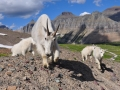 mountain-goats-at-hidden-lake